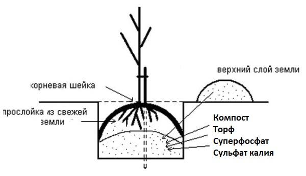Схема закладки питательной смеси в яму для осадки сливового саженца