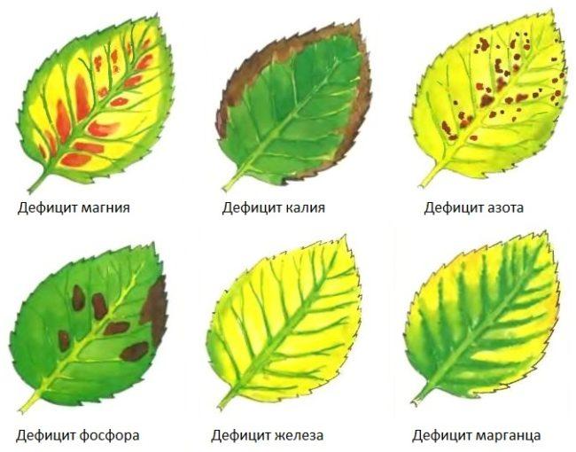 Нарисованные листья сливы с признаками нехватки питательных веществ