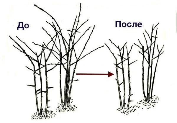 Схема куста ежевики до и после нормирующей обрезки в весенний период
