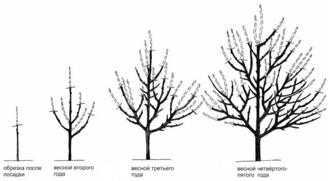 Порядок весенней обрезки сливы с посадки до пятилетнего возраста
