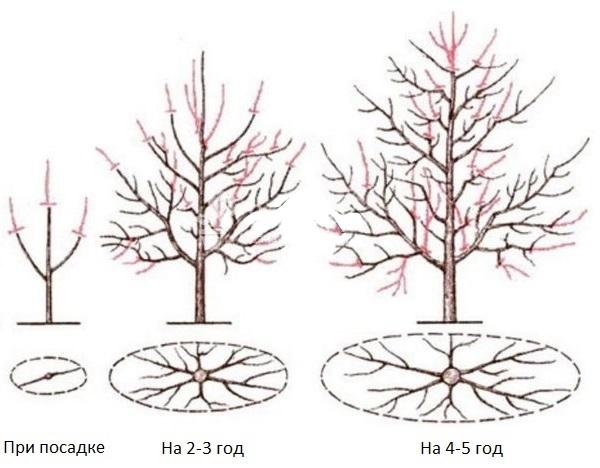 Схемы формирующей обрезки сливового дерева в первые годы жизни растения