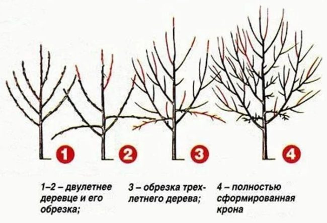 Схема обрезки дерева сливы с первого по четвертый года жизни растения