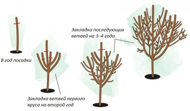 Схема формирования разреженно-ярусной кроны сливового дерева