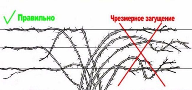 Схема правильного закрепления стеблей ежевики на проволочной опоре