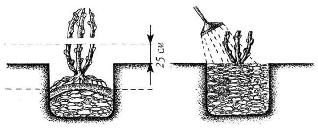 Устройство посадочной лунки для ежевики и размещение в ней саженца