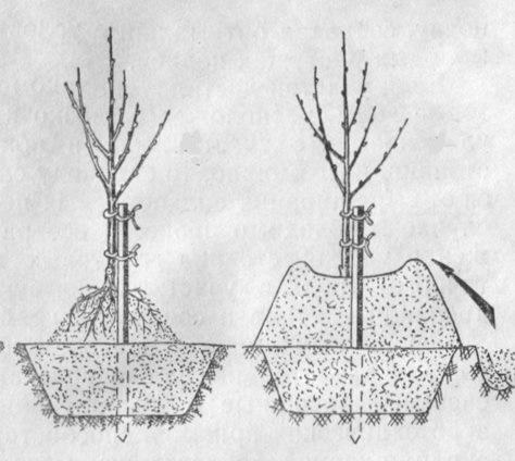 Схема весенней посадки сливового саженца на насыпной холмик