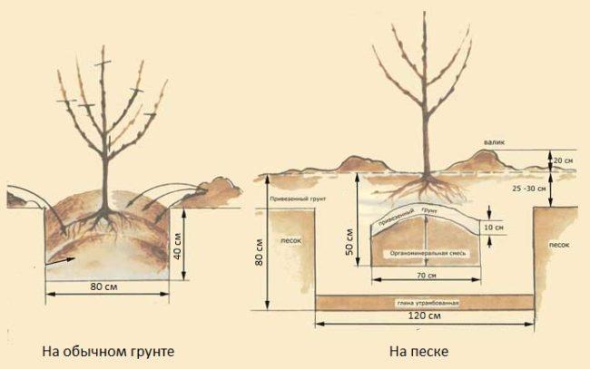 Схема посадочной ямы с размерами для саженца сливы на разных грунтах