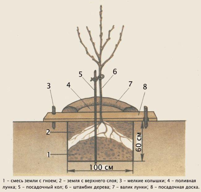 Устройство стандартной посадочной ямы для сливового саженца