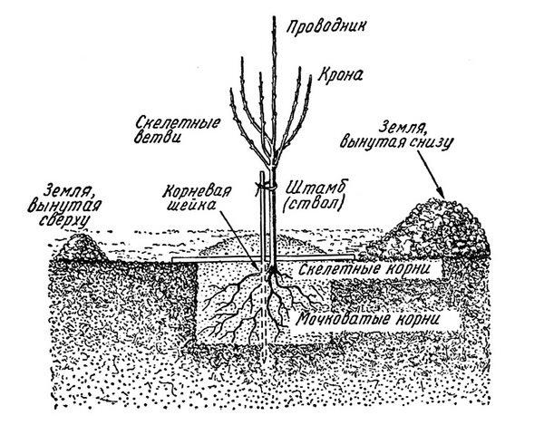 Схема обустройства стандартной ямы для посадки сливы в весенний период