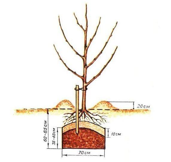 Схема посадочной ямы и размещение в ней однолетнего саженца сливы