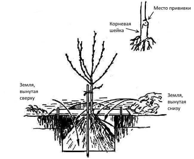 Схема обустройства ямы для весенней посадки саженца сливы
