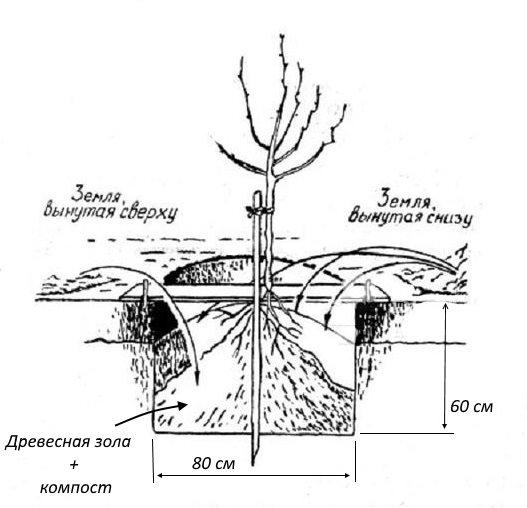 Схема обустройства ямы для весенней посадки сливового саженца