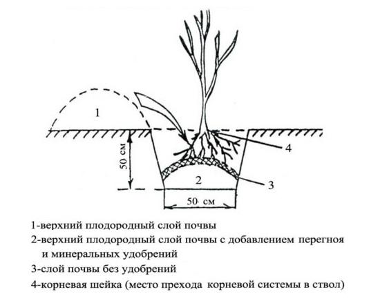 Схема посадочной ямы для саженца ежевики с холмиком по центру