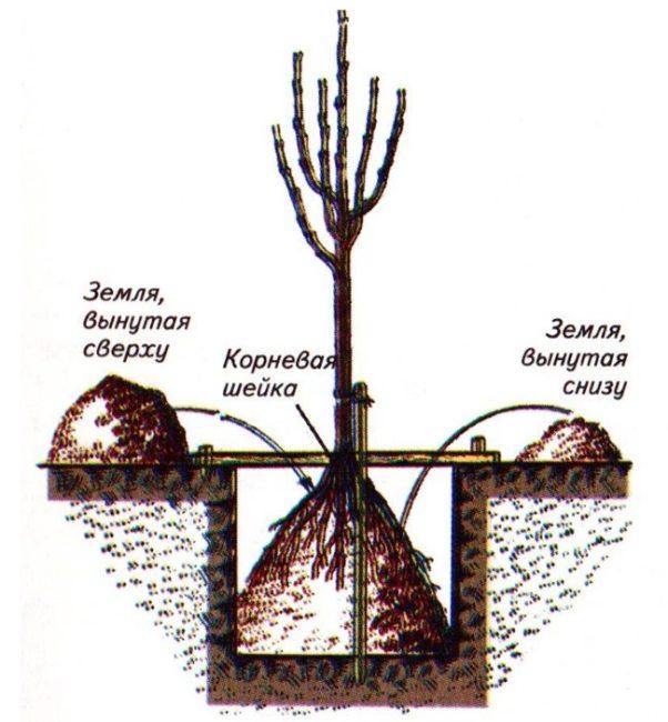 Схема выкапывания посадочной ямы и размещения в ней саженца сливы