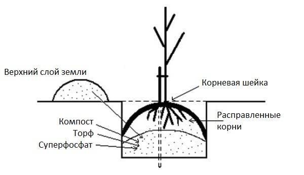 Стандартная схема ямы для весенней посадки саженца сливы на садовом участке