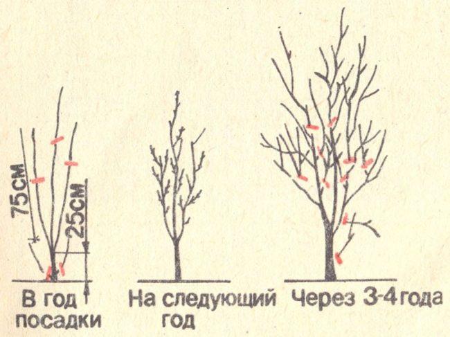Схемы формирования кроны сливового дерева в первые четыре года жизни растения
