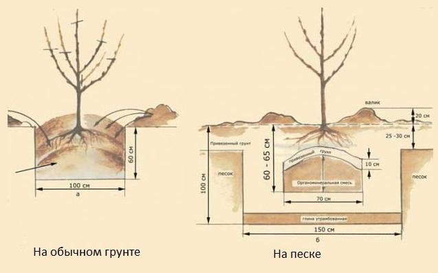 Схемы посадки саженцев сливы на обычном и песчаном грунте
