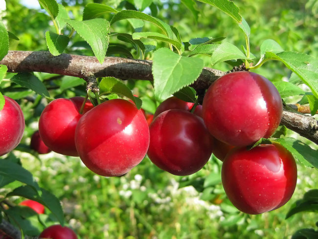Ветка сливы с плодами сорта Красная скороспелка на даче в Подмосковье