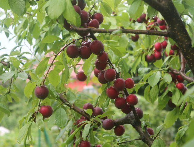 Ветки сливового дерева сорта Скороспелка Красная с плодами малиново-фиолетового окраса