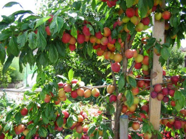 Обильное плодоношение гибридной сливы сорта Алтайская юбилейная
