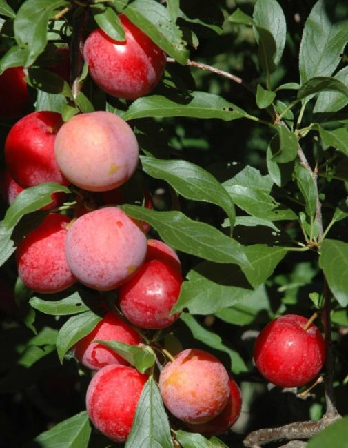 Круглые плоды сливы сорта Асалода темно-красного цвета
