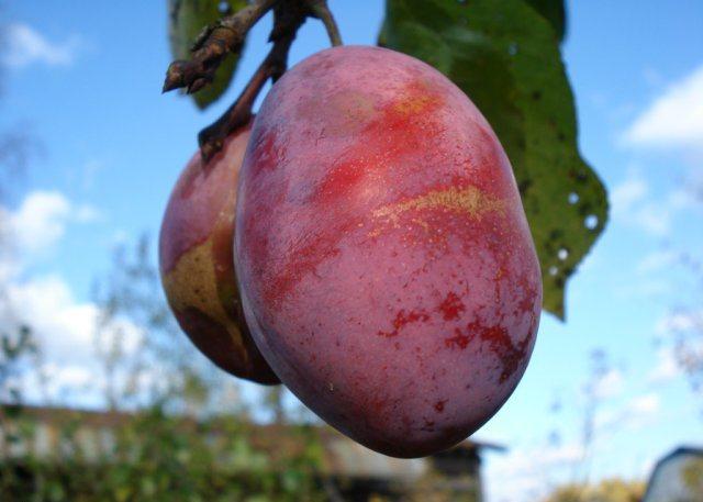 Плоды неправильной формы гибридного сорта сливы Дашенька