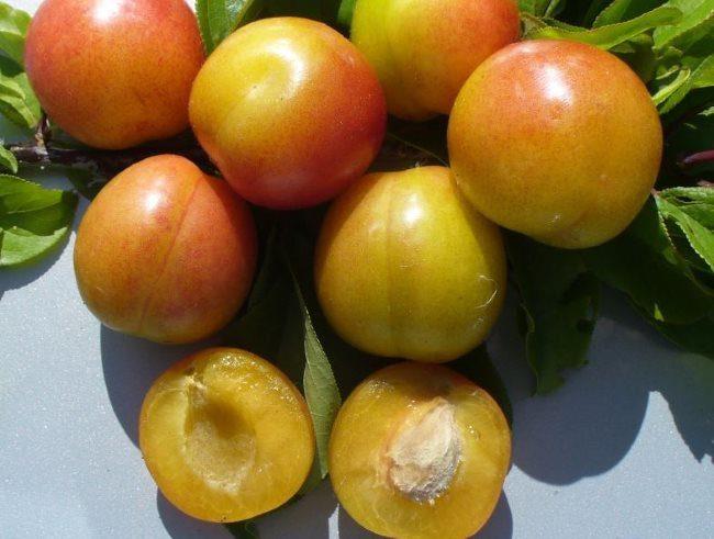 Внешний вид плодов и мякоти сливы гибридного сорта Ильменская
