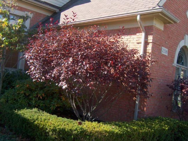 Взрослое дерево сливы сорта Кармен сюита с красными листьями на ветках