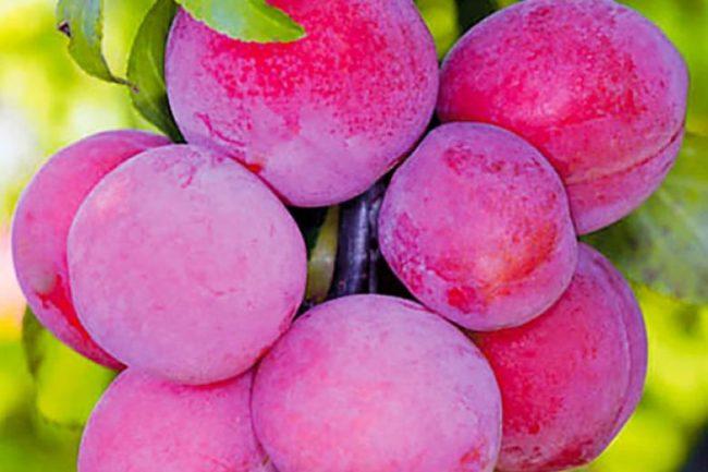 Красно-розовые плоды сливы сорта Красносельская с прозрачным восковым налетом