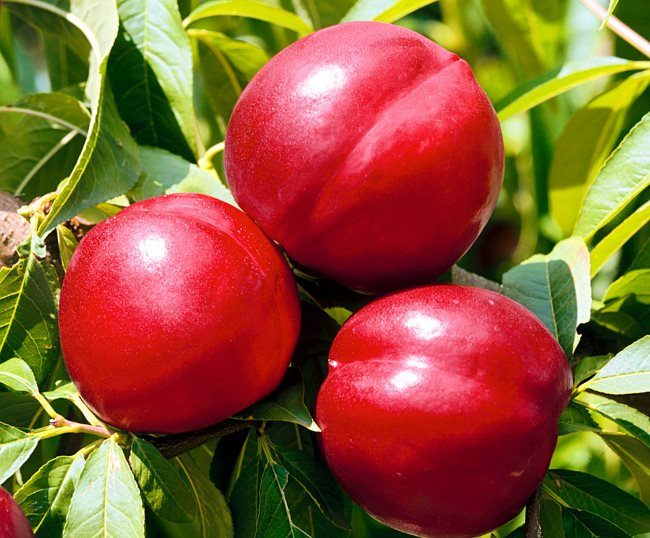Три крупных плода на ветке сливы сорта Михальчик с кожицей брусничного оттенка