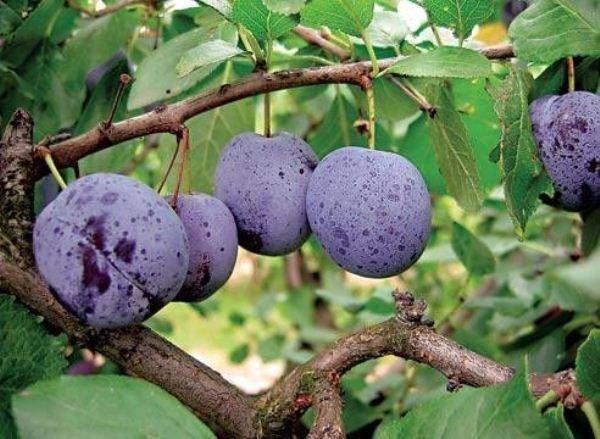 Внешний вид крупных плодов сливы сорта Малаховская синей окраски