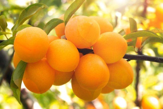 Красивые плоды алычи сорта Мара ярко-желтого окраса с блеском на кожице