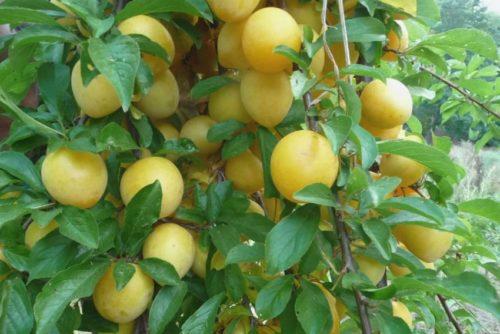 Желто-зеленая кожара на плодах сливы сорта Желтая Медовая