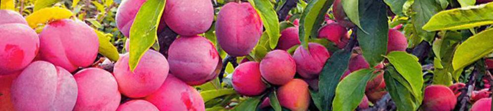 Много созревающих плодов сливы на ветках сорта Михальчик