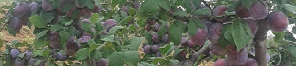 Плоды сливы мирная на дереве созревают