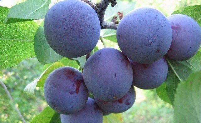 Темно-фиолетовые плоды сливы сорта Мирная Куйбышевской селекции