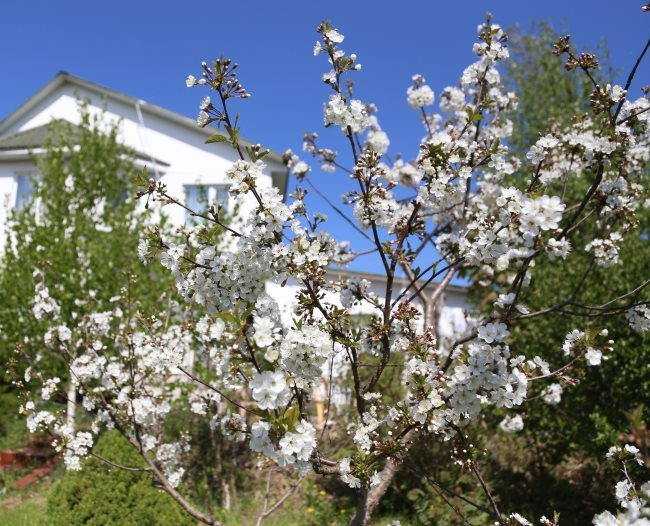 Распустившиеся цветки белого цвета на ветках сливового дерева в частном саду