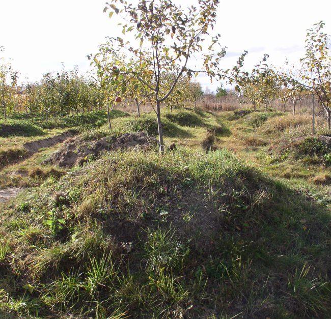 Молодые деревья сливы на искусственных холмах в болотистой местности