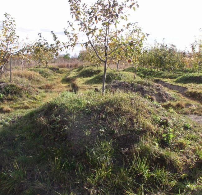 Сливовое деревце на искусственном холмике в садовом хозяйстве Южного Урала