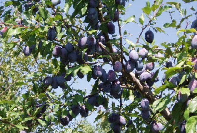Раскидистые ветки сливы с продолговатыми плодами сине-фиолетового окраса