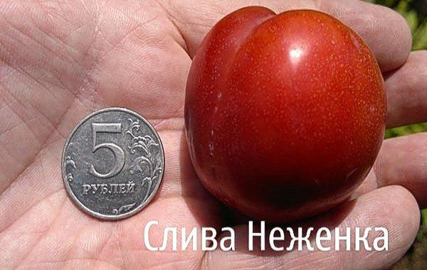 Размер плода сливы сорта Неженка в сравнении с пятирублевой монетой