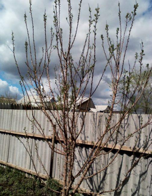 Распускание почек на дереве сливы около высокого забора из шифера
