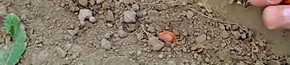 Посадка сливы из косточки в открытую землю