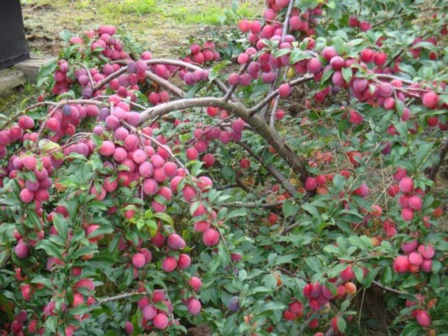 Повислые ветки сливы сорта Шершневская с большим количеством спелых плодов