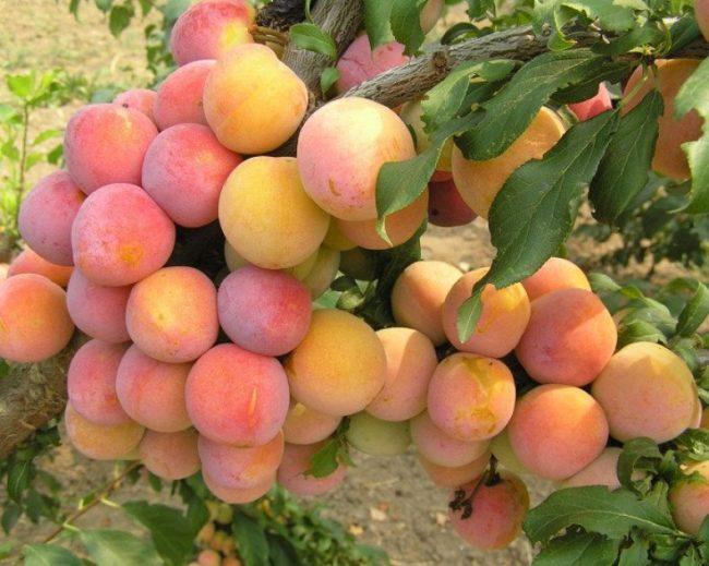 Усыпанная плодами ветка слива популярного сорта Скороплодная в саду Подмосковья