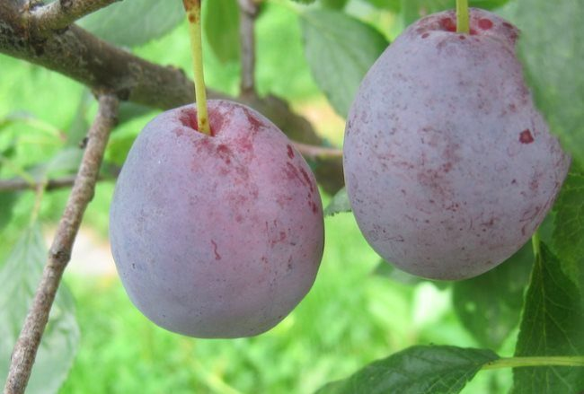 Два плода овальной формы на ветке сливы старого сорта Скороспелка Красная