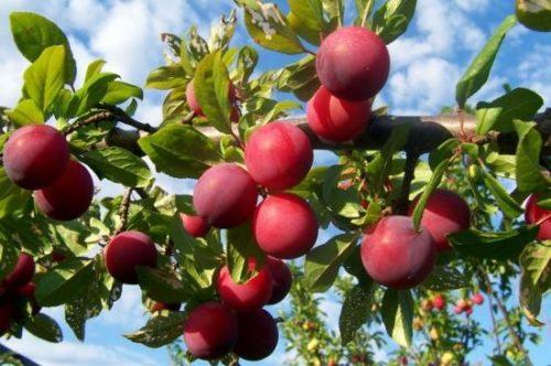 Крупные плоды гибридной сливы сорта Генеральская на ветках взрослого дерева