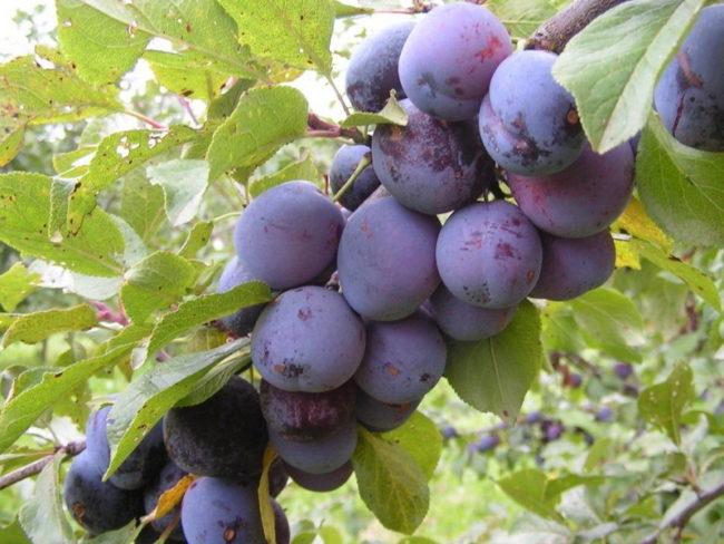 Ветка сливового дерева с темно-фиолетовыми плодами и листьями в пятнах