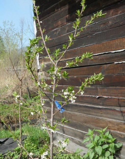 Молодая слива с зелеными листочками около стены деревянного дома