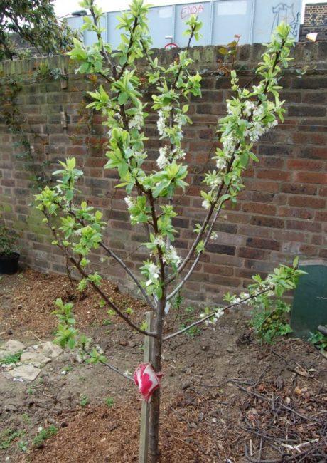 Первое цветение сливового деревца около высокой кирпичной стены